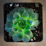 Una pianta succulente verde in contenitore conservato in vaso preso dalla cima giù Fotografia Stock Libera da Diritti
