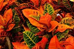 Una pianta tropicale del Croton che ostenta i suoi colori fotografia stock