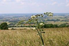 Una pianta umbellar con gli api sulla priorità bassa di paesaggio di estate Fotografia Stock Libera da Diritti