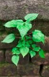 Una pianta verde in parete fotografie stock libere da diritti