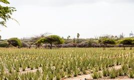 Una piantagione dell'aloe Fotografie Stock Libere da Diritti