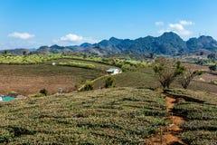 Una piantagione di tè nel plateau di Moc Chau Immagini Stock