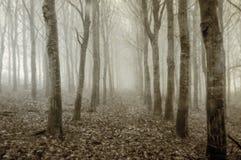 Una piantagione sinistra degli alberi di betulla su un freddo, nebbiosa, giorno di inverni Con un'annata, la seppia, lerciume pub immagine stock