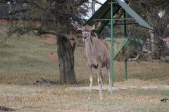 Una piccola antilope veduta allo zoo di Johannesburg Fotografia Stock