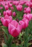 Una piccola ape è occupata produrre il miele dai tulipani rosa Fotografie Stock