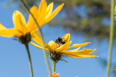 Una piccola ape raccoglie il nettare da un topinambur del fiore i immagine stock libera da diritti