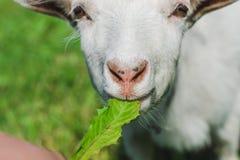 Una piccola capra bianca mangia l'erba su un prato verde immagini stock libere da diritti