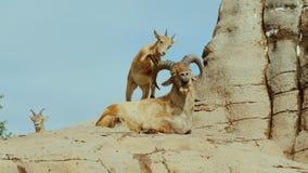 Una piccola capra divertente gioca con un grande animale - colpisce il suo zoccolo sui corni concetto divertente degli animali video d archivio