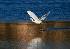 Un'egretta dell'egretta Fotografia Stock Libera da Diritti