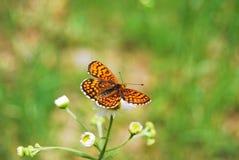 Una piccola farfalla Fotografie Stock Libere da Diritti