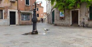 Una piccola fontana urbana a Venezia ed il gabbiano assetato gull fotografie stock libere da diritti