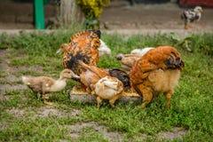 Una piccola gallina nell'iarda del cortile Immagini Stock Libere da Diritti