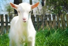 Una piccola giovane capra bianca Fotografie Stock