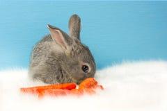 Una piccola lepre grigia esamina la carota arancio Fotografia Stock