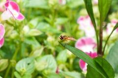 Una piccola mosca nera gialla con l'insetto dell'occhi rossi che si siede in permesso verde Fotografia Stock