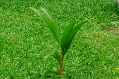 Una piccola noce di cocco sul campo di erba Immagine Stock Libera da Diritti