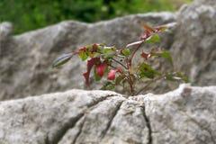 Una piccola pianta che cresce sulle rocce immagini stock