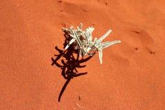 una piccola pianta nel deserto rosso australiano Fotografie Stock Libere da Diritti