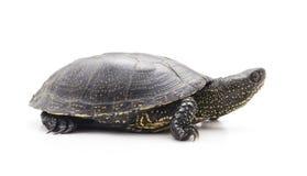 Una piccola tartaruga Fotografia Stock Libera da Diritti