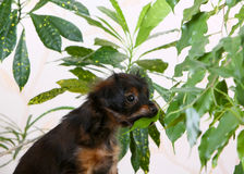 Una piccola testarossa con un cucciolo nero mangia le foglie delle piante Fotografia Stock Libera da Diritti