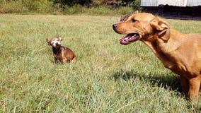 Una piccola vecchia chihuahua ed il suo più giovane amico fuori che godono del giorno Fotografia Stock