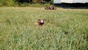 Una piccola vecchia chihuahua fuori che prende il sole Fotografia Stock