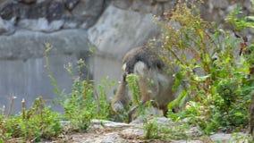 Una piedra de Gray Wolf Walking Around Some Big en un parque zoológico en verano en la cámara lenta almacen de metraje de vídeo