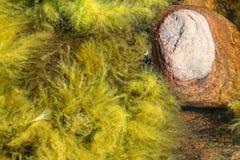 Una piedra del granito con la alga Imagen de archivo libre de regalías