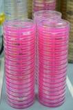 Una pila de Petri Dishes con medios rosados Imagen de archivo libre de regalías