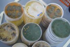 Una pila di Petri Dishes con la muffa Immagine Stock Libera da Diritti