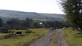 Una pista della Cornovaglia con le pecore Fotografia Stock Libera da Diritti
