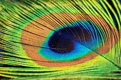 Una piuma dalla coda del pavone Fotografia Stock Libera da Diritti