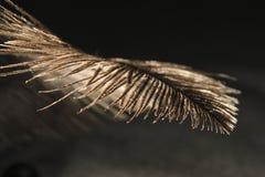 Una piuma marrone molle su fondo scuro Fotografia Stock