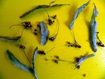 Una placa en la cual están las flores y las hojas dispersadas del tilo secado Fotografía de archivo libre de regalías