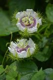 Una planta blanca y violeta en el campo imagen de archivo libre de regalías