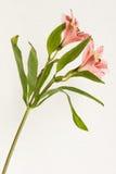 Una planta con dos flores florecientes abiertas Fotos de archivo libres de regalías