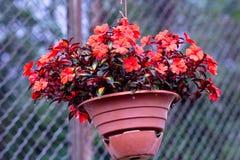 Una planta con un bulto de rojo muy hermoso florece un pote Imagen de archivo libre de regalías