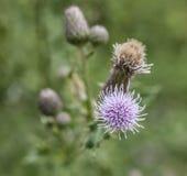 Una planta de cardos - primer en una flor violeta Fotos de archivo libres de regalías