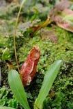 Una planta de jarra tropical (taza del mono) Imagen de archivo