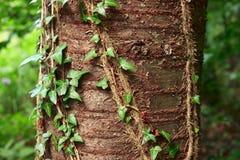 Planta de la hiedra Fotografía de archivo