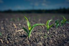 una planta de maíz joven, en un remiendo del campo encendido por el sol foto de archivo