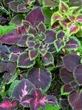 Una planta decorativa inusual con las hojas y el verde de la púrpura inclina en pequeños troncos verdes claros Fotos de archivo