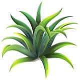 Una planta enana del agavo Fotografía de archivo