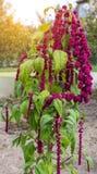Una planta grande y un amaranto rojo florecen, las trenzas florecientes grandes del amaranto rojo cuelgan contra la perspectiva d fotografía de archivo