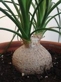 Una planta joven de Beaucarnea Recurvata en un pote Fotos de archivo