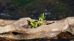 Una planta que crece de un árbol secado almacen de metraje de vídeo