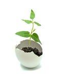 Una planta que trama del huevo Imagen de archivo