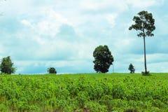 Una plantación de la mandioca en Tailandia Fotos de archivo