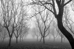 Una plantación de los árboles de nuez en la niebla Fotos de archivo