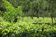Una plantación de té verde luminosa con las plantas de té sanas fotografía de archivo libre de regalías